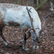 Reindeer antlers — Stock Photo