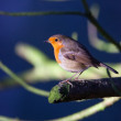 Even closer robin — Stock Photo