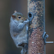 Squirrel eating from bird feeder - Stock Photo