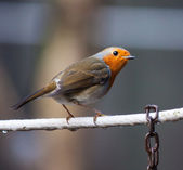Robin on a wire — Stock Photo
