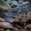 Underwater terrapin — Stock Photo
