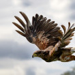 Harris hawk in flight — Stock Photo