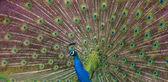 Peacock display — Stock Photo