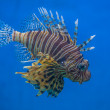 Scorpion Fish — Stock Photo