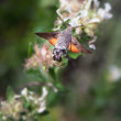 Stock Photo: Humming bird moth and flower