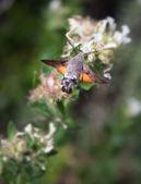 Humming bird moth and flower — Photo