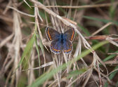 Brown Argus Butterfly — Foto Stock