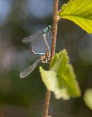 Damisela moscas macro — Foto de Stock