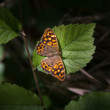 图库照片: Speckled wood butterfly on leaf