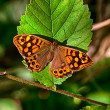 Vibrant Speckled wood — Stock Photo #27336887