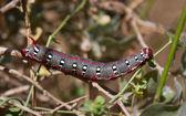 Wolfsmilch-hawk moth-raupe — Stockfoto