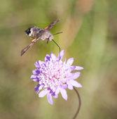 Humming bird moth — ストック写真
