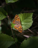 Speckled wood butterfly on leaf — Stok fotoğraf