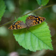 Speckled wood butterfly — Stock Photo #27649045