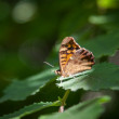 Speckled wood butterfly — Stock Photo #28379395