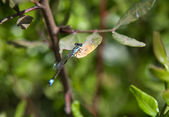 Damsel Fly at rest — Stock Photo