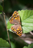 Speckled wood butterfly — Stockfoto
