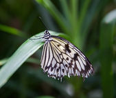 Tree nymph butterly — Stock Photo