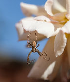 Male Garden Spider — Stock Photo