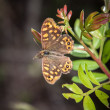 Speckled Wood — Stock Photo