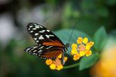 Farfalla nera e arancia — Foto Stock