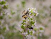 Pszczoła zbierająca — Zdjęcie stockowe