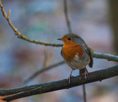 Robin on branch — Stock Photo