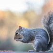Grey Squirrel — Stock Photo #37368613