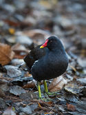 Moorhen searching for food — Stock Photo