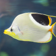 Saddled butterfly fish — Stock Photo