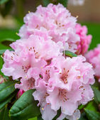 Pink rhododendron, — Stock Photo