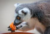 Lemure — Foto Stock