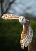 Barn Owl In Flight — Stock Photo
