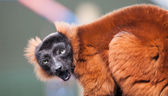 Red Lemur — Stock Photo