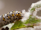 Mullein moth caterpillar, — Stock Photo