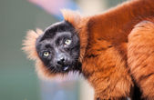 Red Lemur — Stock Photo