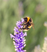 ラベンダーにミツバチ — ストック写真