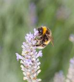 Bee on Lavander — Stock Photo