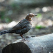 Young juvenile Blackbird — Stock Photo #50974447