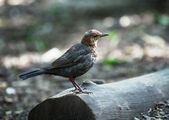 Young juvenile Blackbird — Stock Photo