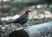 Young juvenile Blackbird — Foto de Stock