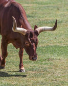 Long horn — Stock Photo