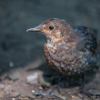 Young juvenile Blackbird — Stock Photo #51167065