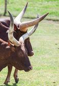 Long horn — Stock Photo