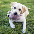 Stock Photo: Labrador Retriever with cuddly toy