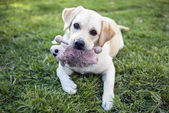 Labrador Retriever with a cuddly toy — Stock Photo