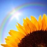 Sunflower on the sky — Stock Photo
