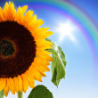 Sunflower on the sky — Stock Photo #12103759