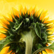 Sunflower — Stock Photo #12200901