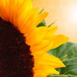 Sunflowers — Stock Photo #12377633